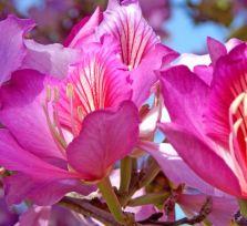 Баугиния: орхидея или крылья бабочки?