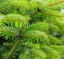 Где купить на Кипре живую елку?