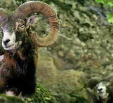 Кипрские фермеры требуют денег за набеги муфлонов