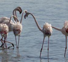 Любуйтесь розовыми фламинго, но, пожалуйста, не тревожьте их!