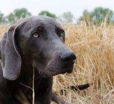 МВД не проверяет охотничьих собак на наличие микрочипов. Потому что нет знаний и условий