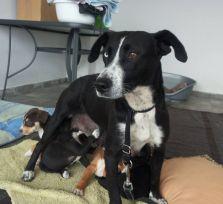 Шоколадный пес ищет семью, в которой его будут любить