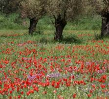 А вы бродили по тюльпановым полям?