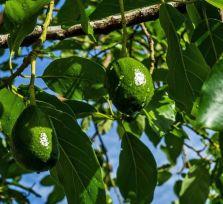 В деревне Ахелия украли тонну авокадо