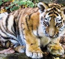 Знакомьтесь! Это Аякс и Коди, тигрята Paphos Zoo (видео)