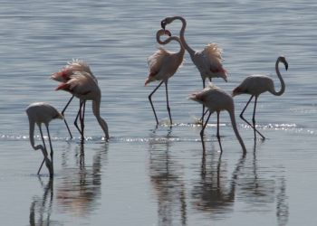 Часть фламинго на Кипре решили, что наступила весна, и вывели потомство