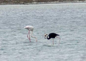 На соляном озере Менеу поселился черно-белый фламинго